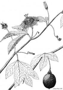 Passiflora incarnata (Passionflower)